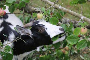 Yang mange des pommes